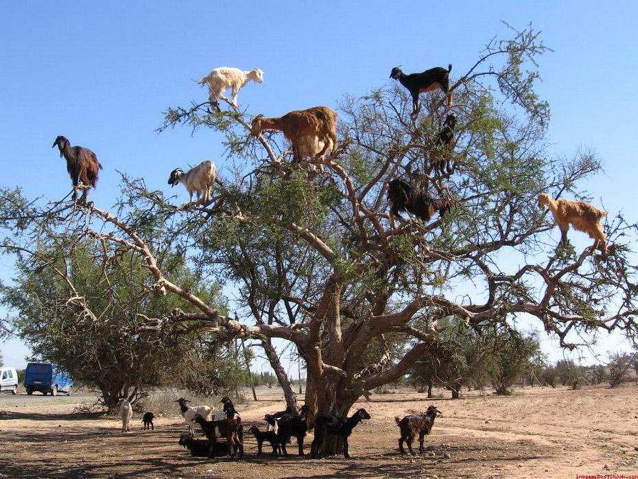 1507 Козы на деревьях в Марокко