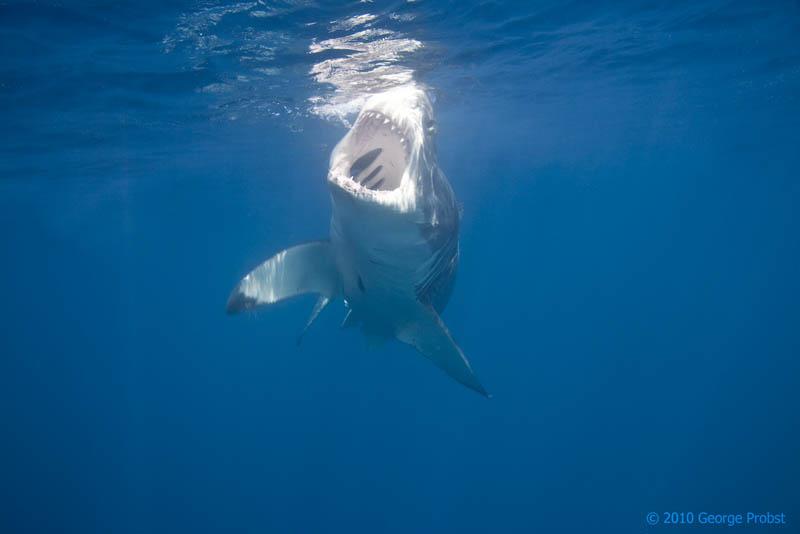 1527 Повелительница морей   большая белая акула