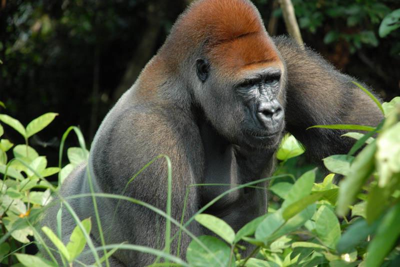 1531 Эти удивительные гориллы: фотофакты