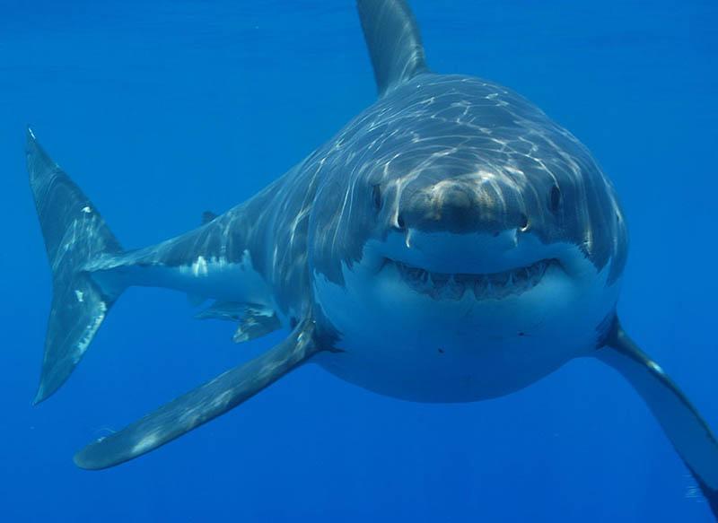 1625 Повелительница морей   большая белая акула