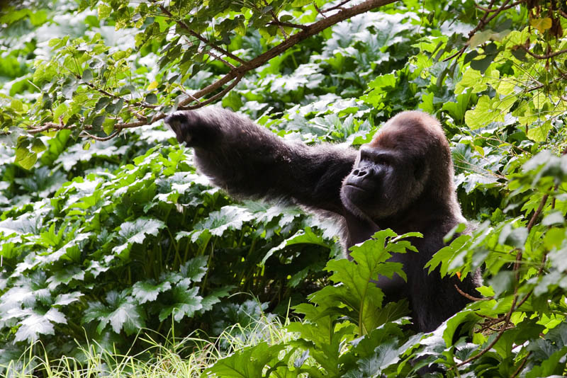 1629 Эти удивительные гориллы: фотофакты