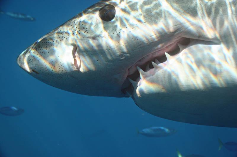 1823 Повелительница морей   большая белая акула