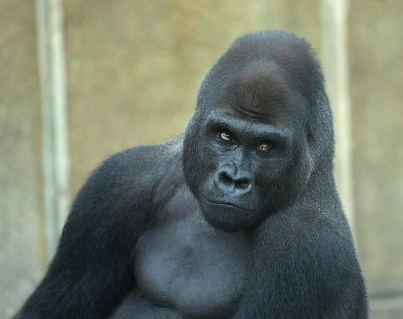 1827 Эти удивительные гориллы: фотофакты