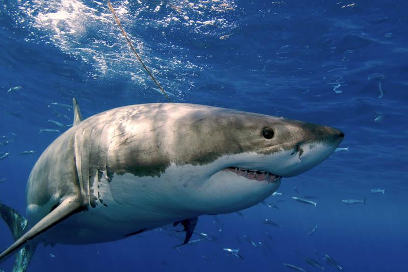 1922 Повелительница морей   большая белая акула