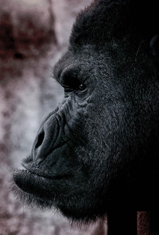1926 Эти удивительные гориллы: фотофакты