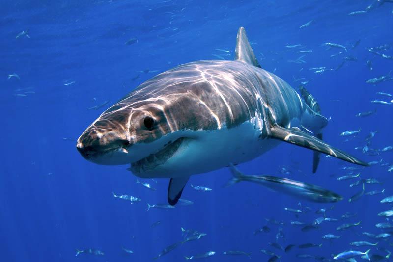 2020 Повелительница морей   большая белая акула