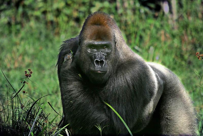 2024 Эти удивительные гориллы: фотофакты