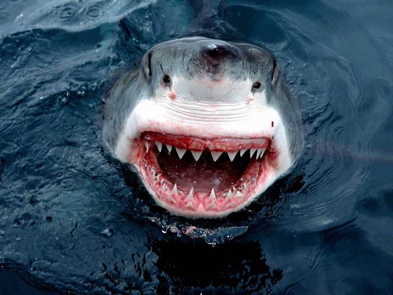 Большая белая акула - один из самых страшных хищников в природе.  Белая акула