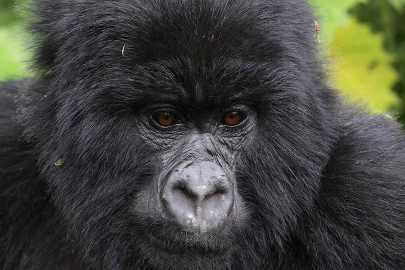2131 Эти удивительные гориллы: фотофакты
