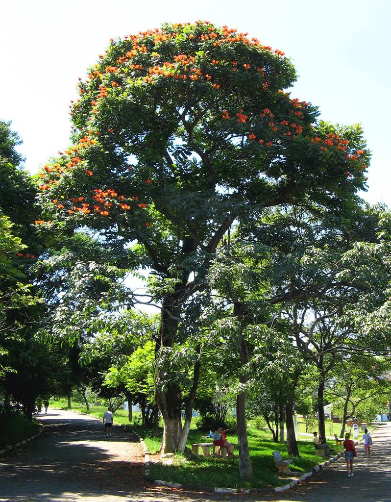 2236218179 8c7e54c862 b Экзотическая красота: Африканское тюльпанное дерево