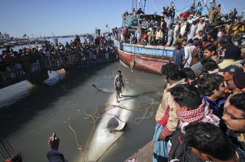 227992 giant whale 800x527 Мертвую китовую акулу, найденную у побережья Пакистана, продали за $19 тыс.