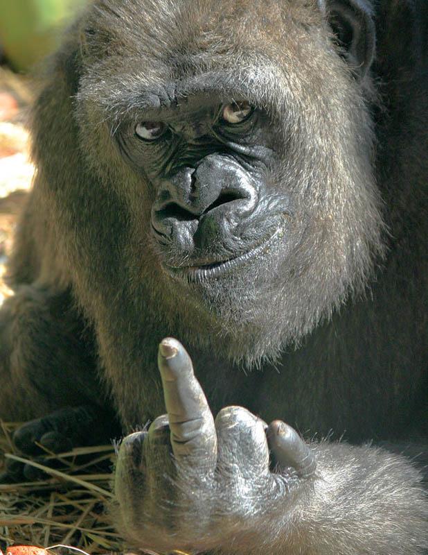 2324 Эти удивительные гориллы: фотофакты