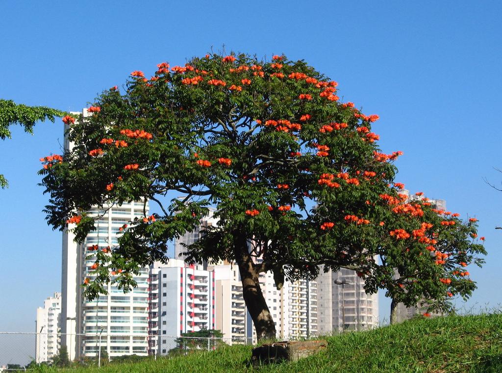 2372228424 bb2e65c3f6 b Экзотическая красота: Африканское тюльпанное дерево