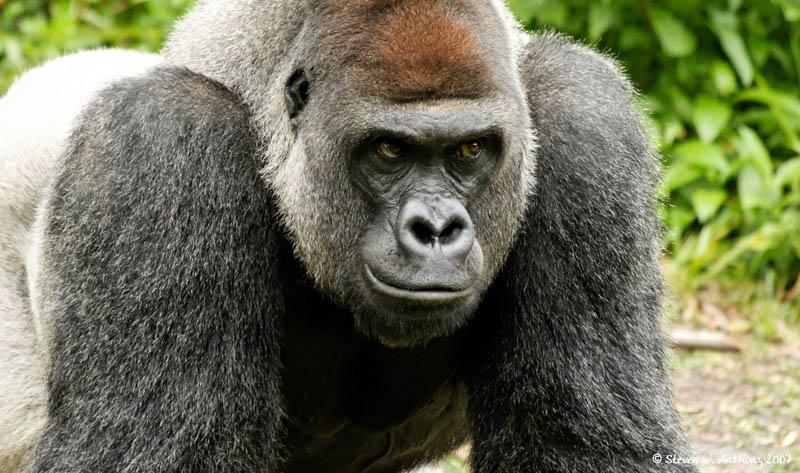 2423 Эти удивительные гориллы: фотофакты