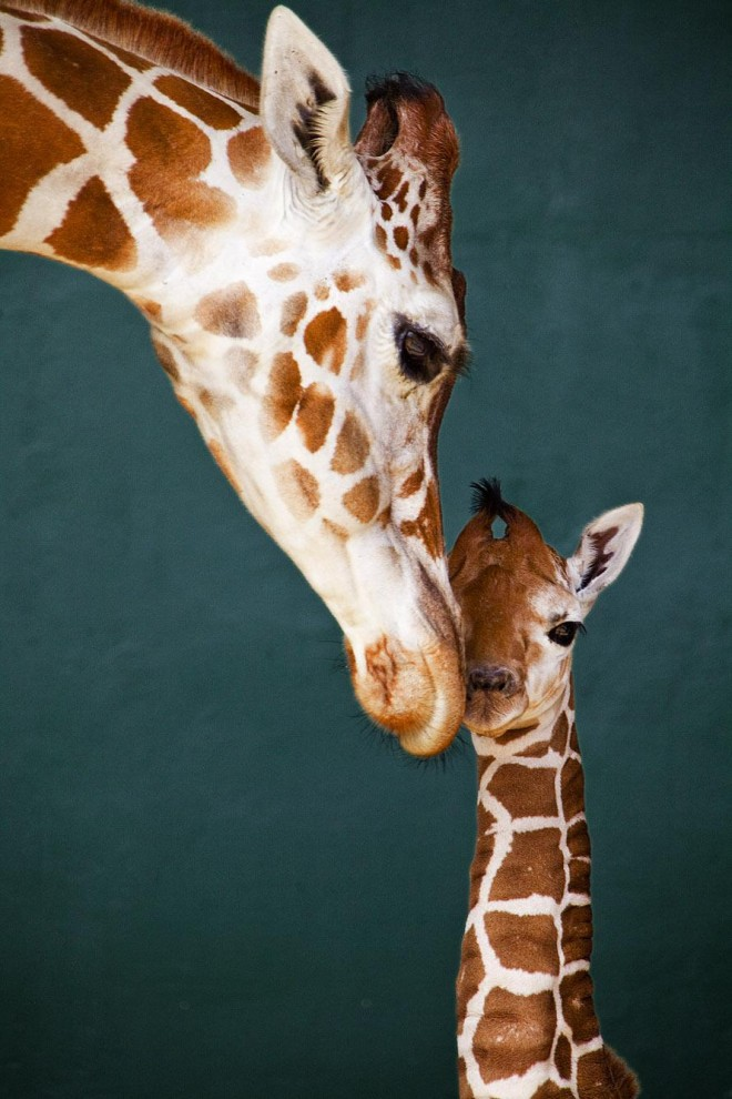 250 660x990 Первый детеныш жирафа в 2012 году в зоопарке Тампа Бэй
