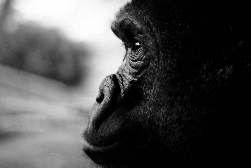2522 Эти удивительные гориллы: фотофакты