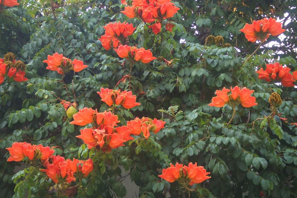 302675395 94edac3f87 b Экзотическая красота: Африканское тюльпанное дерево