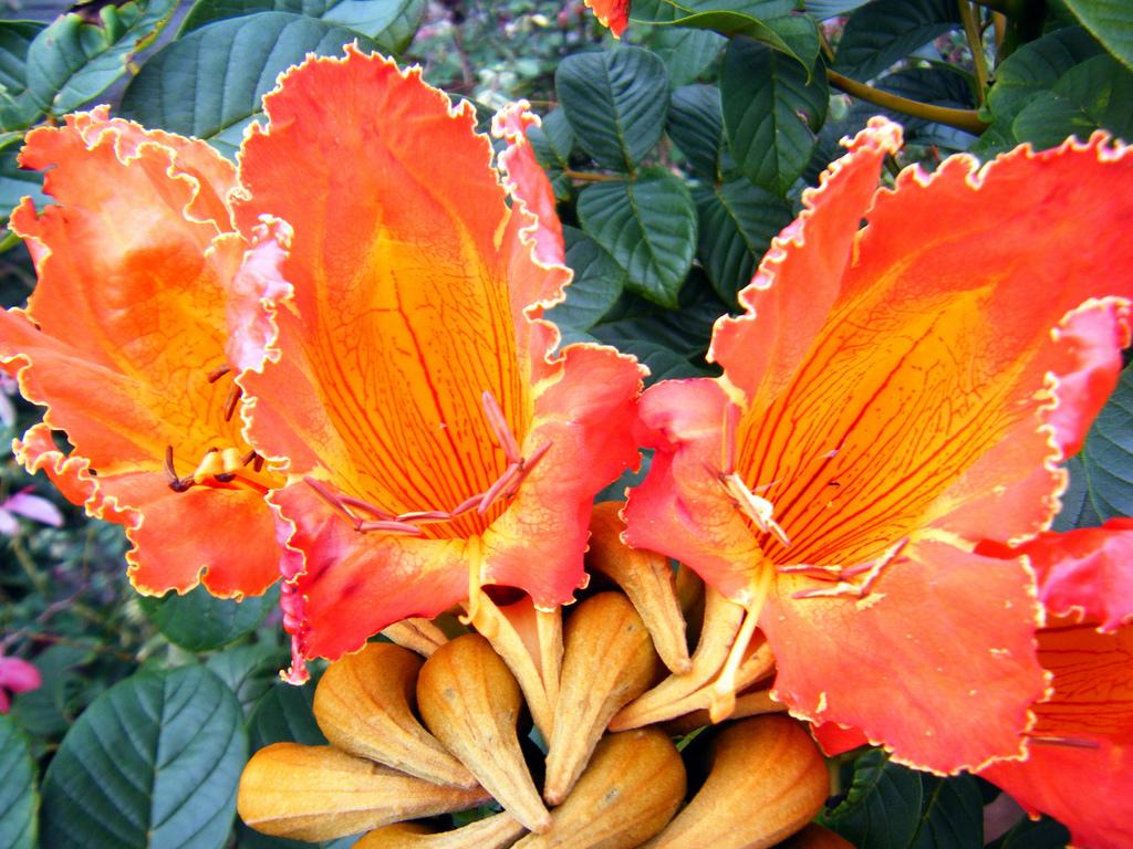 3145004214 7e8a6de8a9 b Экзотическая красота: Африканское тюльпанное дерево