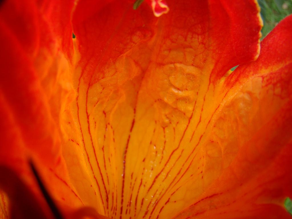 3376388003 9b864615db b Экзотическая красота: Африканское тюльпанное дерево