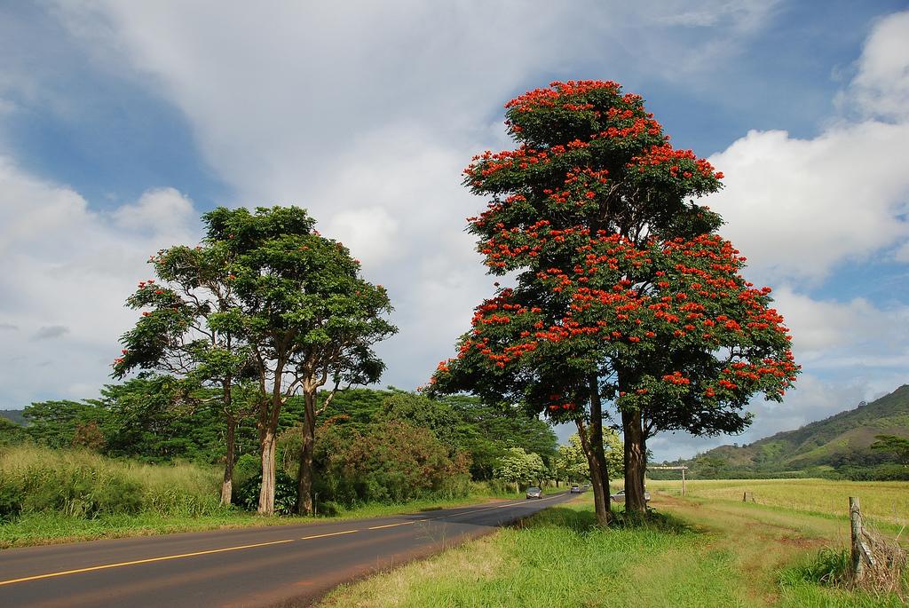 3425927300 69c3061f58 b Экзотическая красота: Африканское тюльпанное дерево