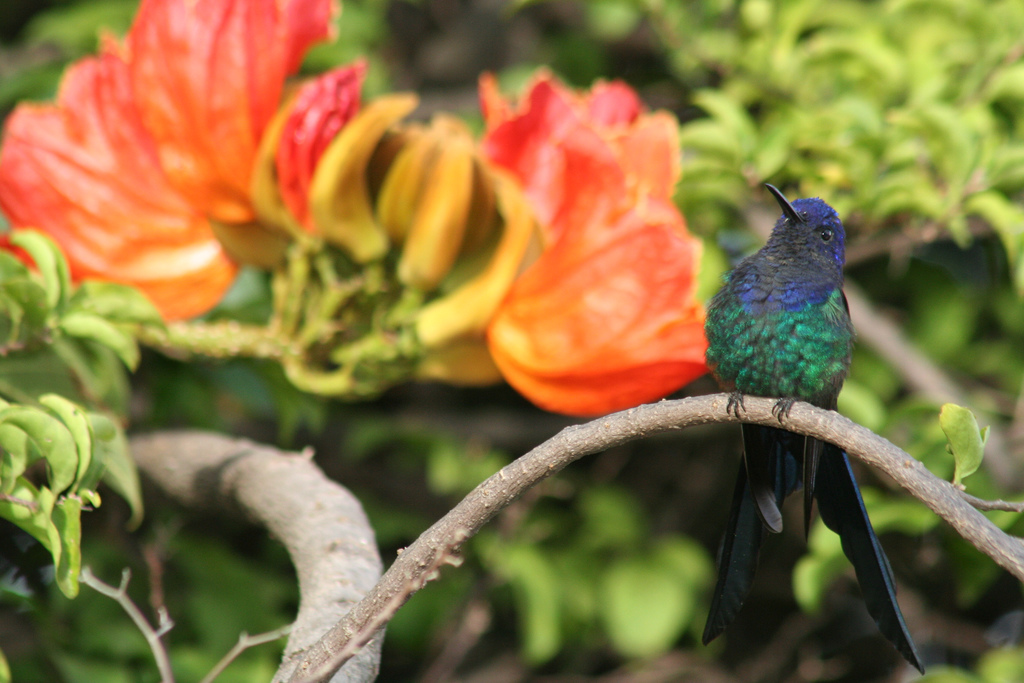 343140344 86a21a9306 b Экзотическая красота: Африканское тюльпанное дерево