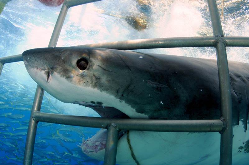 370 Повелительница морей   большая белая акула