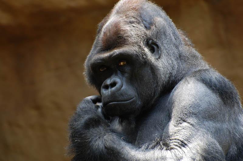 380 Эти удивительные гориллы: фотофакты