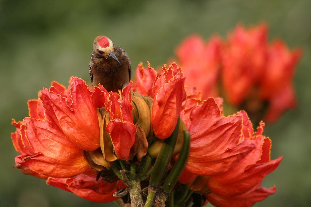 4179345839 9b8085d655 b Экзотическая красота: Африканское тюльпанное дерево