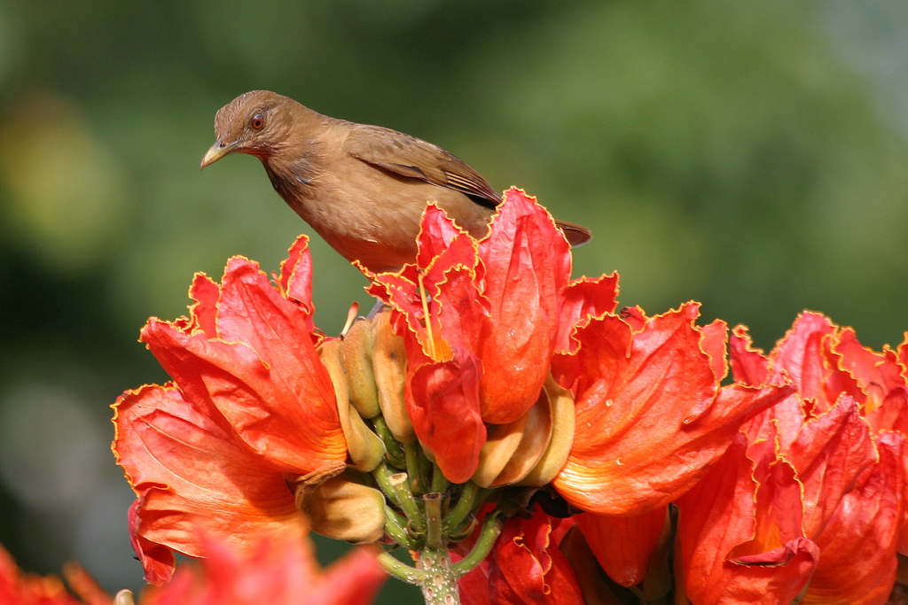 4180139242 488aa4f276 b Экзотическая красота: Африканское тюльпанное дерево