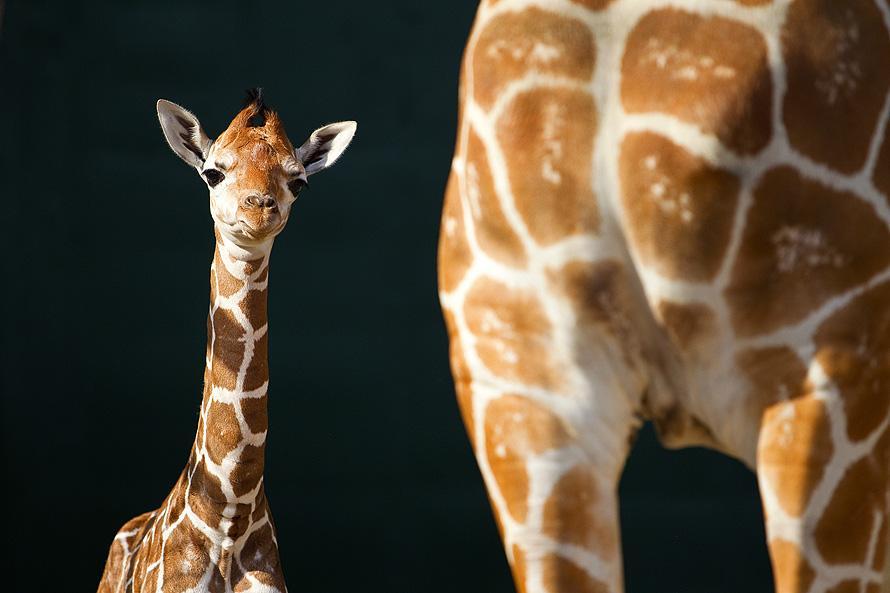 427 Первый детеныш жирафа в 2012 году в зоопарке Тампа Бэй