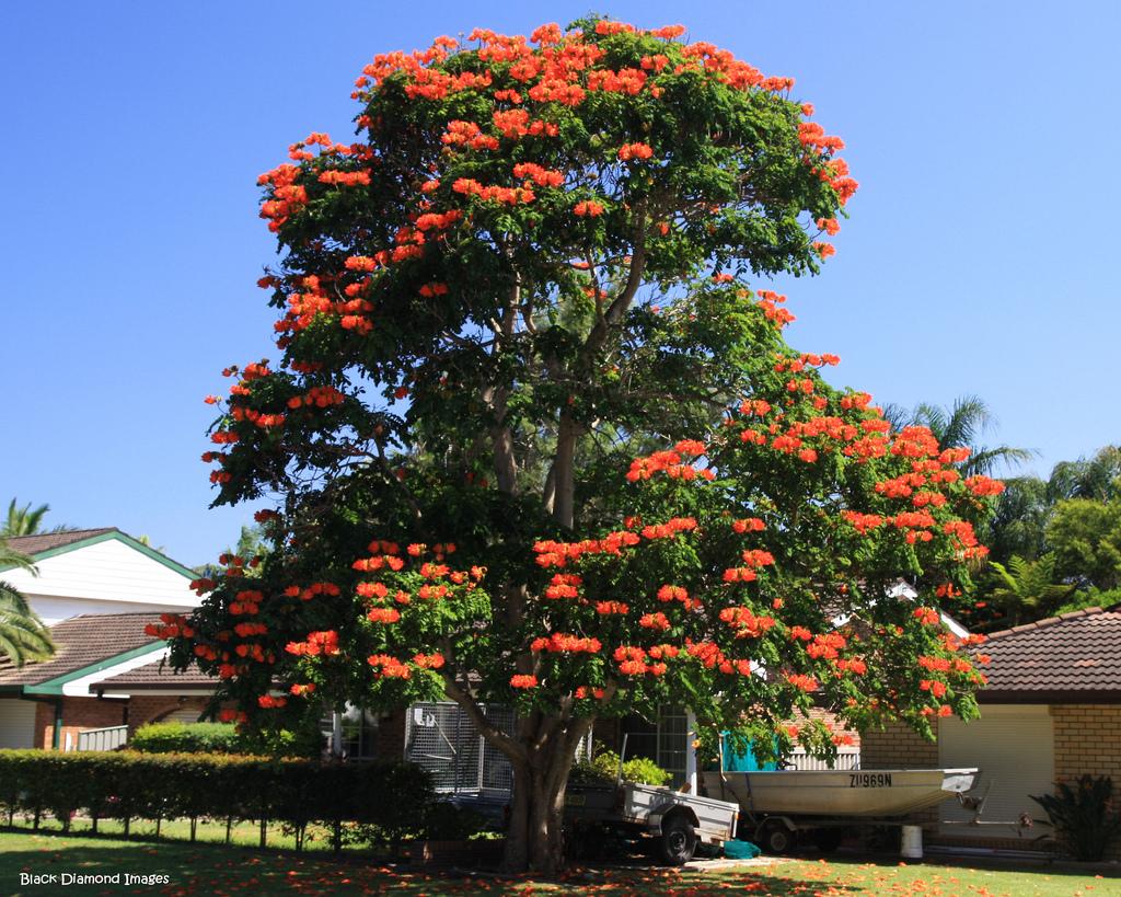 4312899329 9103c65ac9 b Экзотическая красота: Африканское тюльпанное дерево