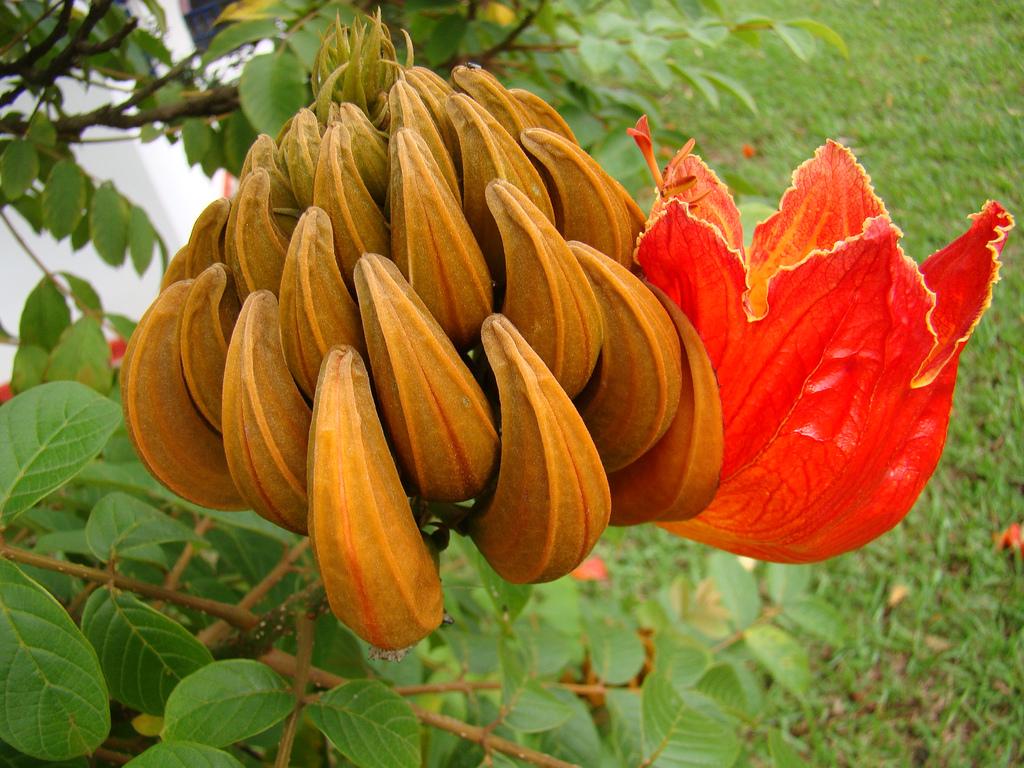 4438208940 7339266a87 b Экзотическая красота: Африканское тюльпанное дерево