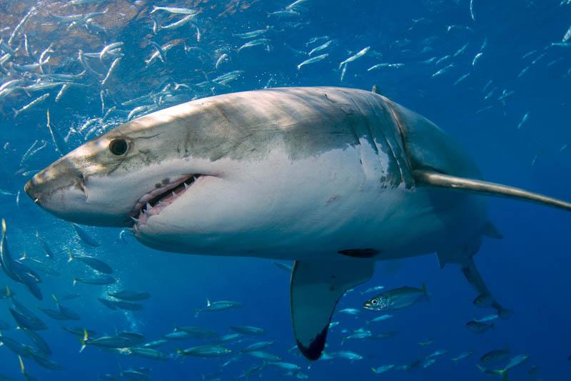 454 Повелительница морей   большая белая акула