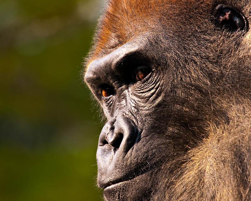 458 Эти удивительные гориллы: фотофакты