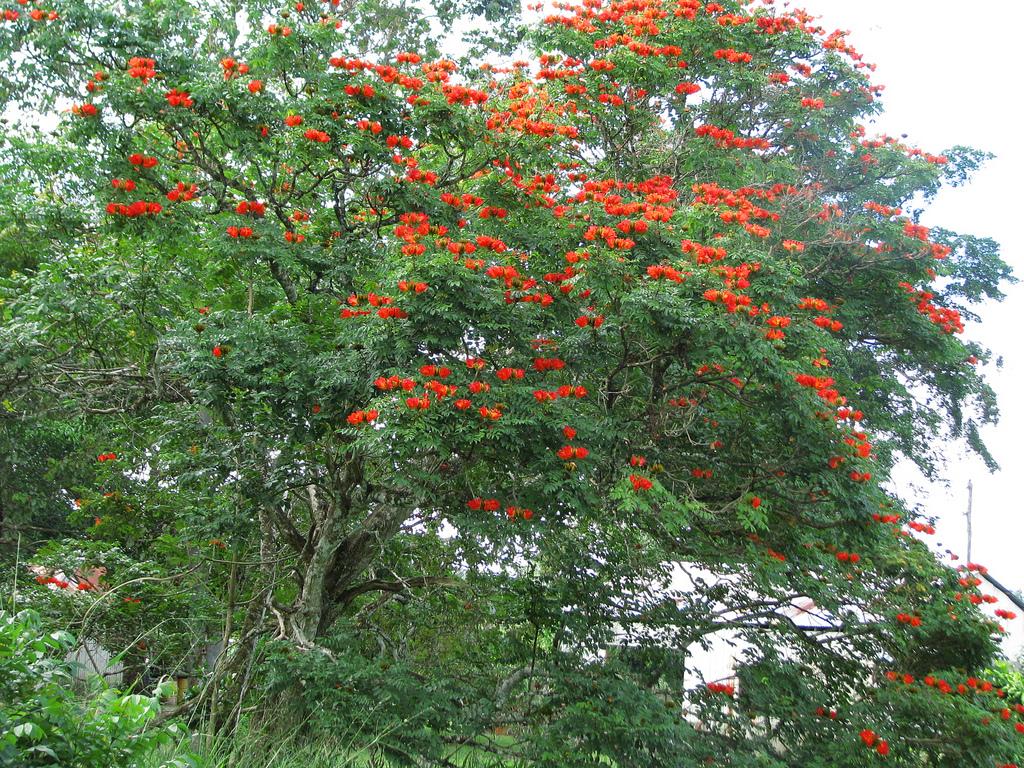 4591817832 f531937c0c b Экзотическая красота: Африканское тюльпанное дерево