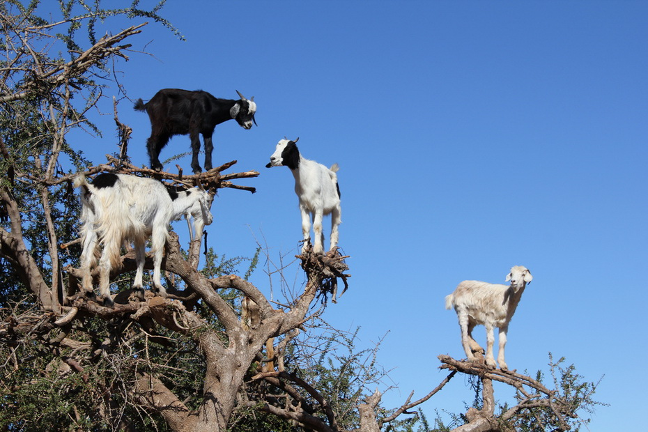 5157 Козы на деревьях в Марокко