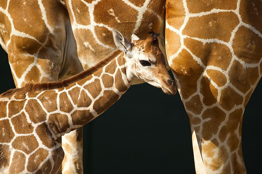 518 Первый детеныш жирафа в 2012 году в зоопарке Тампа Бэй