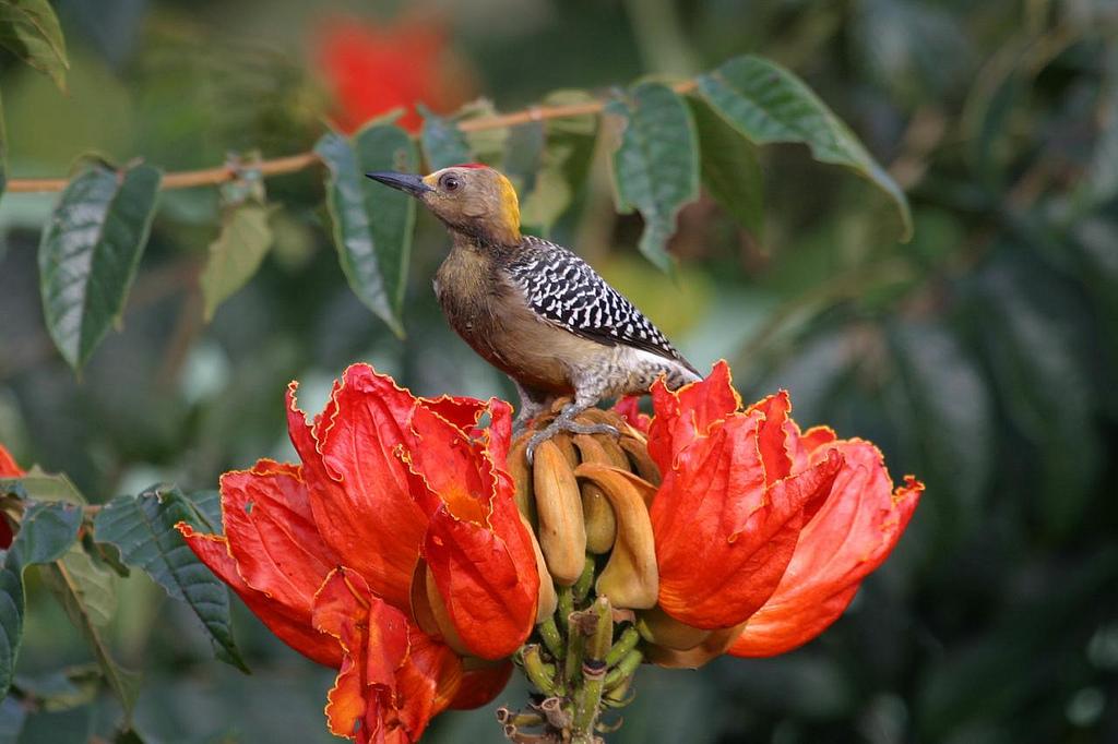 5192726146 96a3b2b18a b Экзотическая красота: Африканское тюльпанное дерево