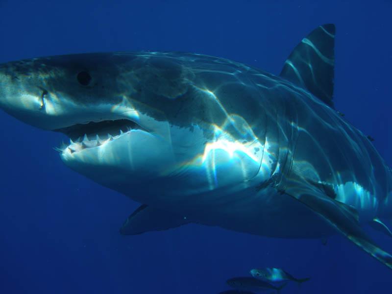 Повелительница морей - большая белая акула (20 фото) .