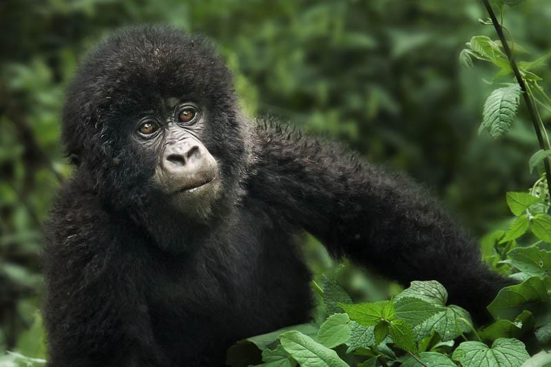 543 Эти удивительные гориллы: фотофакты