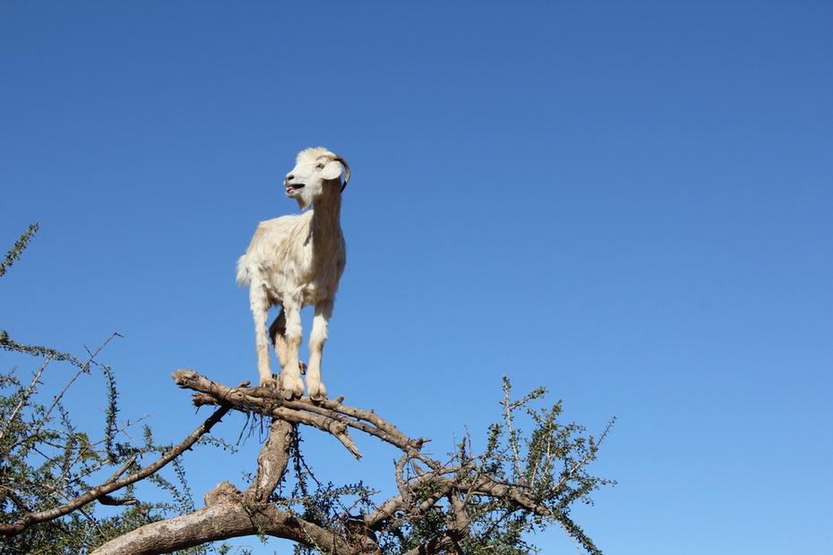 6135 Козы на деревьях в Марокко