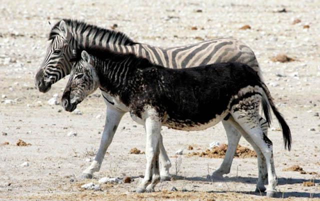 6166 10 животных меланистов