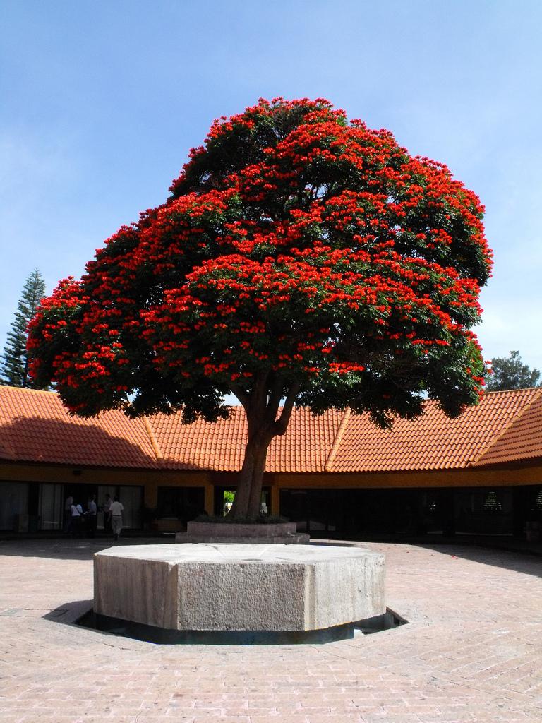 Тюльпанное дерево фото