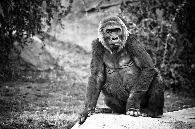638 Эти удивительные гориллы: фотофакты