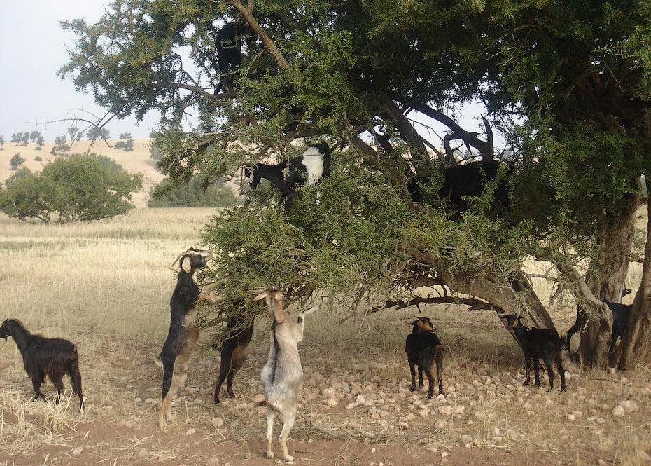 7126 Козы на деревьях в Марокко