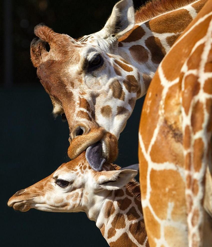 716 848x990 Первый детеныш жирафа в 2012 году в зоопарке Тампа Бэй