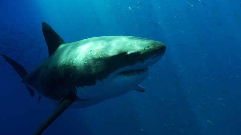 734 Повелительница морей   большая белая акула
