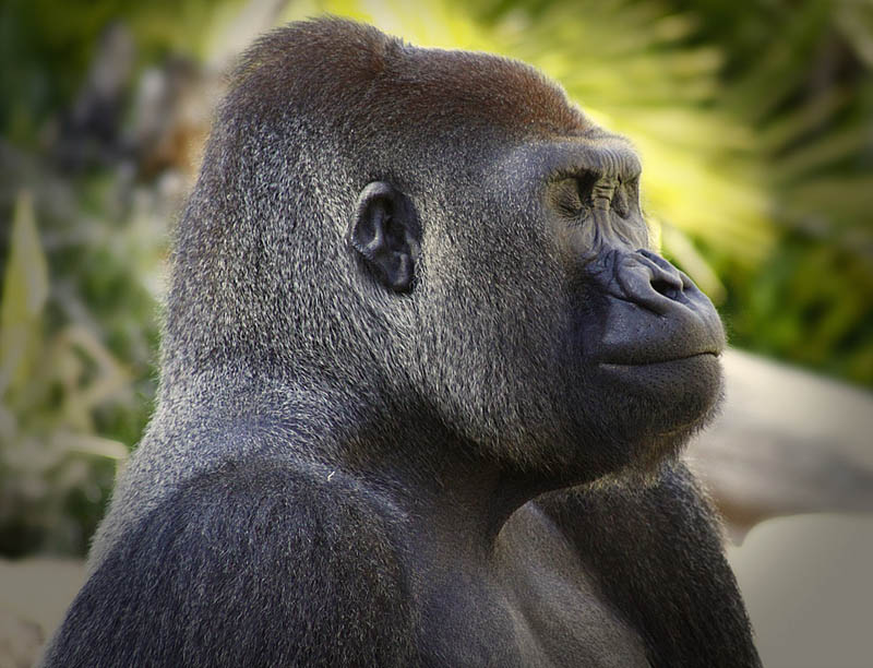738 Эти удивительные гориллы: фотофакты