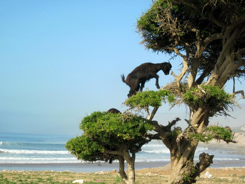 8119 Козы на деревьях в Марокко
