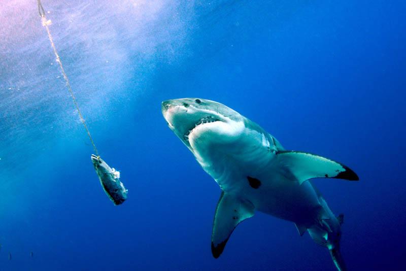 832 Повелительница морей   большая белая акула